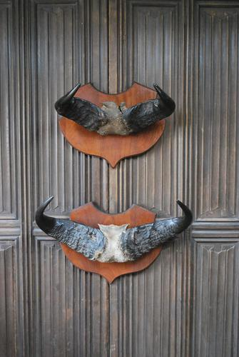 Pair of Cape Buffalo Horn Trophies on Shields (1 of 10)