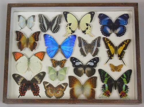 Antique Specimen Butterfly Case (1 of 6)