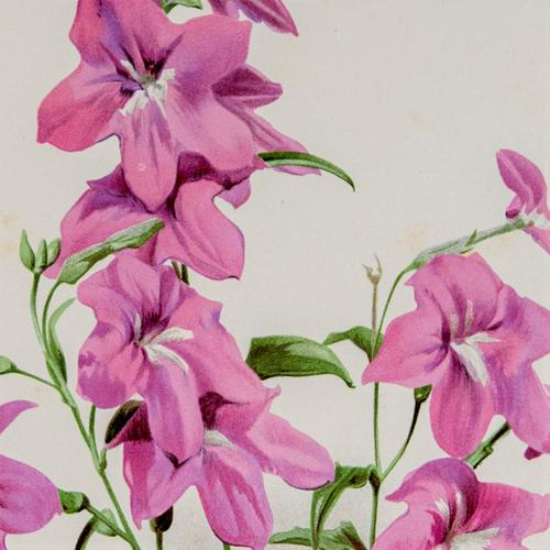Pretty 'Pink Browallia' Chromolithgraph 1903 (1 of 4)