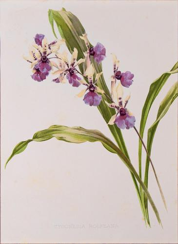 Beautiful 'Zygonesia Orchid' Rare Chromolithograph 1903 (1 of 3)
