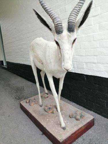 Taxidermy:  An African  Antelope (1 of 7)