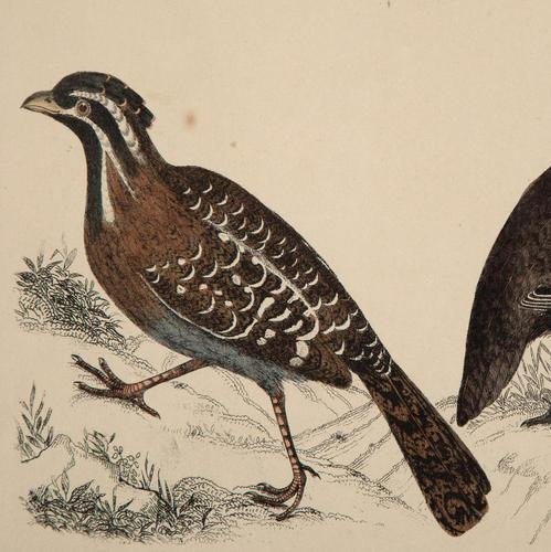 Hand Coloured 'Ground Bird One' Lithograph. Goldsmith 1875 (1 of 4)