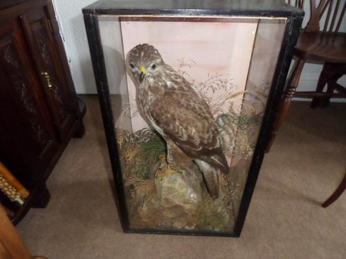 Magnificent Taxidermist's Display of a Buzzard in a Glass Case -  Late Victorian (1 of 6)