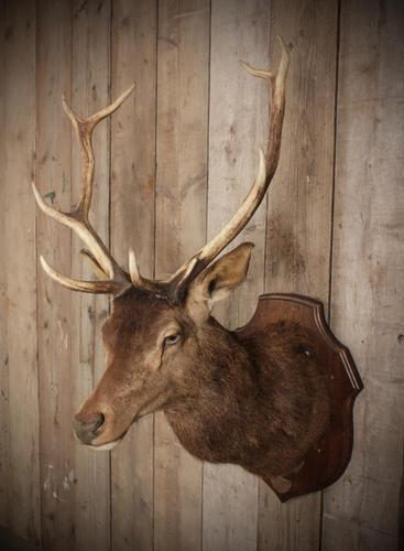 Taxidermy Eight Pointer Red Stag (1 of 6)