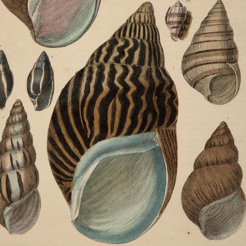 Hand Coloured 'Seashells Two' Lithograph. Goldsmith 1875 (1 of 4)