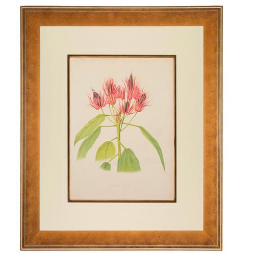 Pavonia Wiotii Chromolithograph. Robinson. The Garden 1871-1881 (1 of 4)