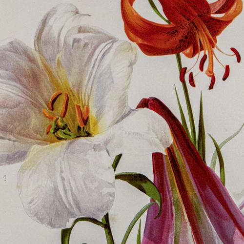 Romantic and Wonderful 'Mixed Lilies'  Chromolithograph 1903 (1 of 4)