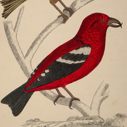 Hand Coloured 'Crimson Exotic Bird' Lithograph. Goldsmith 1875 (1 of 4)
