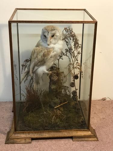 Taxidermy Barn Owl (1 of 13)