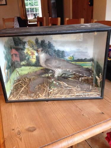 Antique Taxidermy Cuckoo (1 of 1)