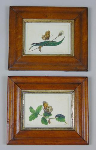Antique Pair of Watercolours Paintings Butterflies and Pupae (1 of 9)