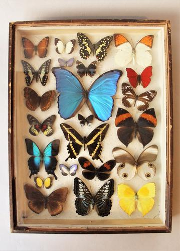 Antique Butterfly Collection Rare Specimens c.1900 (1 of 1)