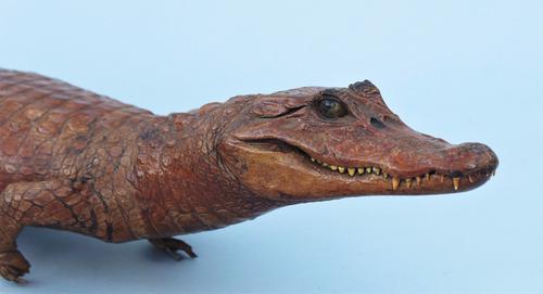 Antique Taxidermy Caiman Crocodile (1 of 1)