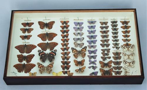 Victorian Butterfly Specimen Display Case (1 of 1)