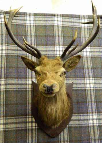 Taxidermy Royal Stags Head c.1900 (1 of 1)