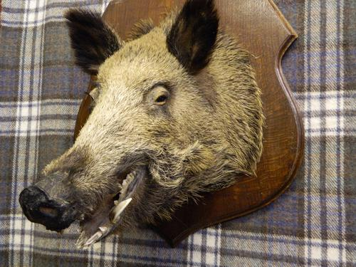 Taxidermy Boars Head c.1900 (1 of 1)