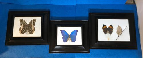 Collection of Three Victorian Taxidermy Butterflies (1 of 38)