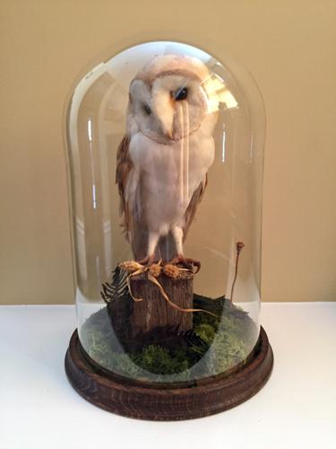 Fine Taxidermy of Barn Owl in Glass Dome (1 of 14)