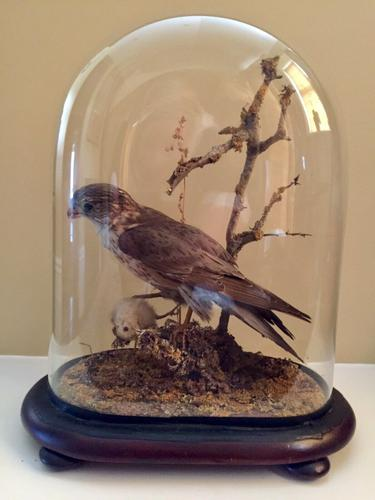 Fine Taxidermy of a Merlin Bird with Prey in Glass Dome (1 of 7)