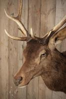 Taxidermy Eight Pointer Red Stag (4 of 6)