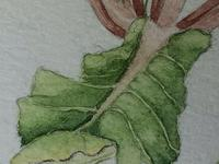 Watercolour Plant Study Botanical Polyanthus after Charles Darwin (6 of 12)