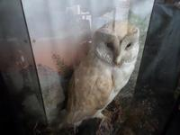 Lovely Barn Owl on a Good Setting & in a good Glass Case - Hand Painted Background (3 of 4)