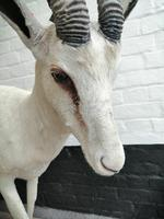 Taxidermy:  An African  Antelope (4 of 7)