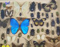 Good Antique Butterfly & Insect Specimens Collection (3 of 7)