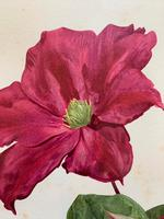 Sublime Claret Clematis Chromolithograph. Henry G Moon. 1903 (2 of 4)