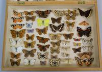Antique Butterfly & Moth Cased Specimen Collection (2 of 8)