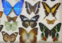 Antique Specimen Butterfly Case (3 of 6)