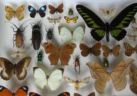 Large Antique Butterfly & Insect Specimen Case (5 of 7)