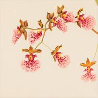 Delicate Oncidium Cucullatum Orchid Chromolithograph 1871-1881