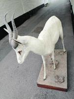 Taxidermy:  An African  Antelope (3 of 7)