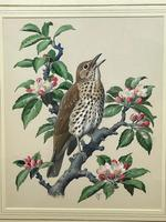 """Watercolour """"Chirping Song Thrush Bird"""" Signed Charles Frederick Tunnicliffe OBE RA 1901-1979 (7 of 35)"""