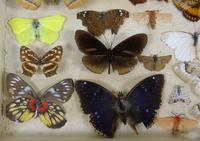 Antique Butterfly and Moth Cased Specimen Collection (6 of 7)