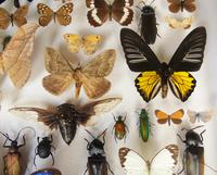 Large Antique Butterfly & Insect Specimen Case (7 of 7)