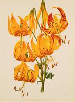 Stunning Liliium Humboldtii Chromolithograph 1871-1881 (5 of 5)