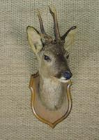 Taxidermy Roe Deer (2 of 4)