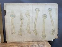 Anatomical Studies (4 of 11)