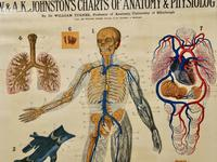 """Large University Anatomical Chart """"Veins and Lungs"""" by Turner (5 of 6)"""