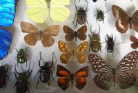 Large Antique Specimen Butterfly & Insect Case (6 of 7)