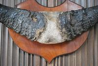 Pair of Cape Buffalo Horn Trophies on Shields (5 of 10)