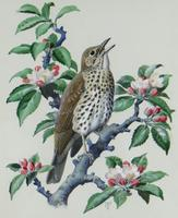 """Watercolour """"Chirping Song Thrush Bird"""" Signed Charles Frederick Tunnicliffe OBE RA 1901-1979 (2 of 35)"""