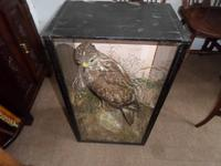 Magnificent Taxidermist's Display of a Buzzard in a Glass Case -  Late Victorian (5 of 6)