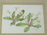 Watercolour Plant Study Botanical Polyanthus after Charles Darwin (2 of 12)