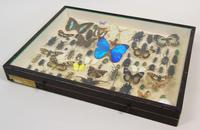 Good Antique Butterfly & Insect Specimens Collection (5 of 7)