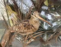 Taxidermy Edwardian Case of 7 Birds Inc: Kingfisher, Snipe, Moorhen & Woodcock (4 of 15)