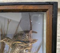 Taxidermy Edwardian Case of 7 Birds Inc: Kingfisher, Snipe, Moorhen & Woodcock (3 of 15)