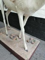 Taxidermy:  An African  Antelope (5 of 7)